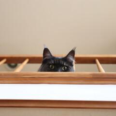 ペット/猫/メインクーン 上から「ニャッ」と声がしたので見上げてみ…