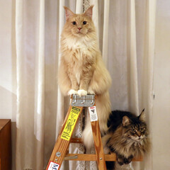 ペット/猫/メインクーン/脚立/キャットタワー/うちの子ベストショット おすましギンとよそ見キャンディ。  セル…