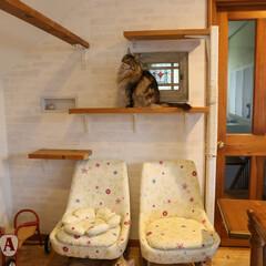 ペット/猫/キャットウォーク/キャットステップ/DIY できたてホヤホヤのキャットウォークでおす…