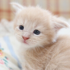 ペット/猫/子猫 生後三週間頃のギン。 生まれた時は垂れて…