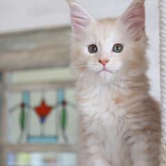 ペット/猫/子猫/メインクーン 生後55日、ナナ。  美人さんに成長中!…