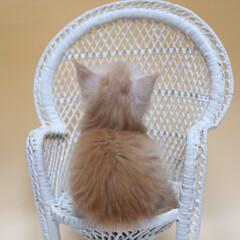 ペット/猫/子猫 生後1ヶ月と1日、ギンの後ろ姿。 2.5…
