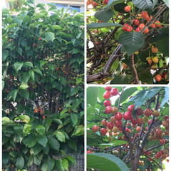 グリーン 隣の実家の庭のさくらんぼ🍒 赤くなってま…
