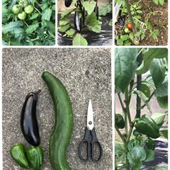 家庭菜園 初収穫  きゅうり🥒なすび🍆ピーマ☝️ …