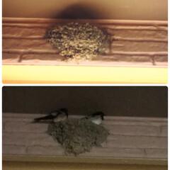 ツバメ 家の玄関の壁の内側にツバメの巣☝️ 今年…