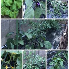 家庭菜園 きゅうり、ピーマン、ナスビ、トマト、大葉…