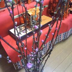 コストコ/桃の花/雛祭り/LIMIAペット同好会/フォロー大歓迎/ペット仲間募集 昨日コストコで購入した桃の花🌼 コストコ…