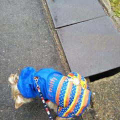 お散歩/ヨークシャテリア/雨の日グッズ/フォロー大歓迎/LIMIAペット同好会/わんこ同好会 昨日はあいにくの☔ 1日中☔でしたが小雨…