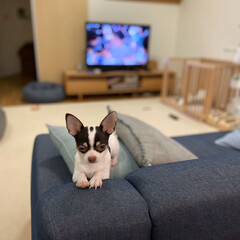 多頭飼い/スムースチワワ/チワワ 最近、ソファーのココが好きらしい。 あん…