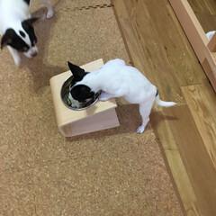 チワワ/多頭飼い/スムースチワワ 「あんが食べにきた!」つぶ(6ヶ月♂) …