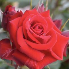 薔薇/バラ園/令和元年フォト投稿キャンペーン/おでかけ/風景 *薔薇と雫*
