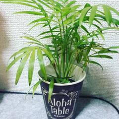 グリーンインテリア投稿コンテスト/グリーン/ハワイアン お店で頂いた紙コップで育てています(´ω…