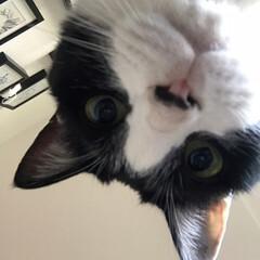 猫/ハチワレ/白黒猫/虎徹/LIMIAペット同好会/にゃんこ同好会 母ちゃん、起きてみてはいかがですかにゃ?…(1枚目)