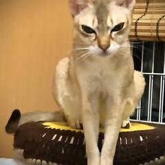 猫 ネコ ラムは綺麗にお座りするよねー。(2枚目)