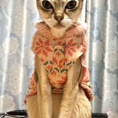 猫 ネコ ラムは綺麗にお座りするよねー。(1枚目)