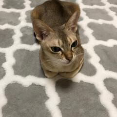 猫 ネコ/リミアの冬暮らし 人間用のホットカーペットが1番気に入って…