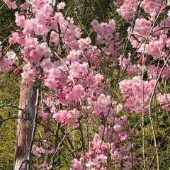 御朱印/桜 花見に行きました🌸御朱印も桜です!by …