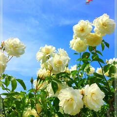 薔薇 (1枚目)