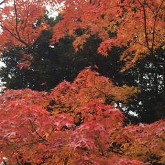 景色/紅葉 職場近くの公園の紅葉🍁 太陽が顔を出すと…