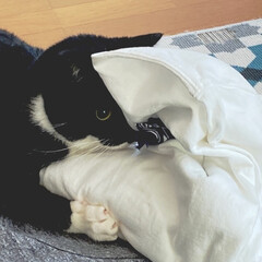 猫との時間/臆病猫/2歳/靴下猫/タキシード猫/興奮状態/... 洗濯物を畳むと興奮するのはなんなのか…