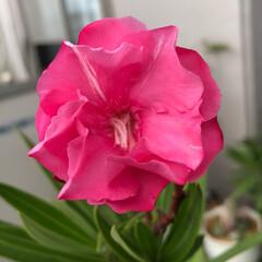 ベランダ花 夾竹桃 ピンク 咲きました❣️ 白と交代…