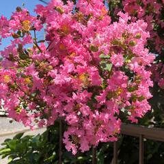 夏の花/さるすべり 夏の花と言えば ひまわり🌻 でもでも、夾…