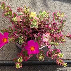 ベランダ花/ポーチュラカ 💐 昨日、ポーチュラカ 💖 2つ 咲きました…
