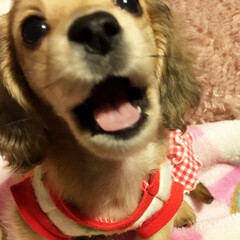 愛犬/可愛い/癒される ママ〜おはよ〜♫ お散歩行こ〜♫