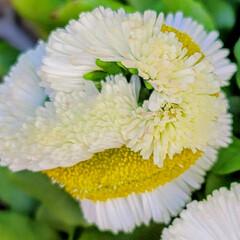 Flower/ガーデン 🌴🌺⛱🌼🐠🌴💓  🍃🤍🍃ヒナギク🍃🤍🍃が…