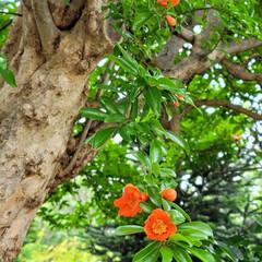 ガーデン/Flower 🌺🍹🐊🍉🌴🌻🌴🍍  🌴🦩濃い緑🌿に🧡映え…(1枚目)