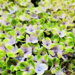 Flower/ガーデン 🌺🍹🐊🍉🌴🌻🌴🍍  🌴🦩色々アジサイ🦚で…(1枚目)