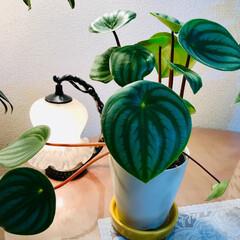 スイカ/観葉植物 🌈🌴🦚🌺🍂🍁🌾🍄こんばんは(*^▽^*)…