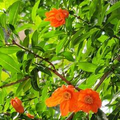 ガーデン/Flower 🌺🍹🐊🍉🌴🌻🌴🍍  🌴🦩濃い緑🌿に🧡映え…(2枚目)