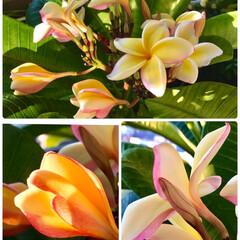 Flower/プルメリア/ベランダガーデン 🌈🌴🌺🦚🍂🍁🌾🍄  🍃💛💗🍃黄色のプルメ…(1枚目)