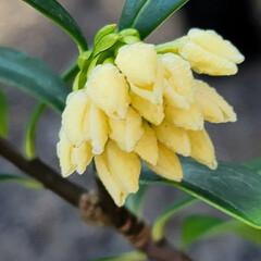 ガーデン/Flower 🌴🌺⛱🌼🐠🌴💓  黄色の🍀💛ジンチョウゲ…