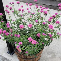 ガーデン/Flower 🌺🍹🐊🍉🌴🌻🌴🍍  🌴🦩花言葉  咲きあ…(1枚目)