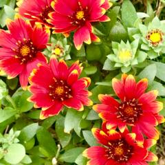 ガーデン/Flower 🌈🌴🦚🌺🍂🍁🌾🍄  ❤️💛花びらの先の💛…(1枚目)