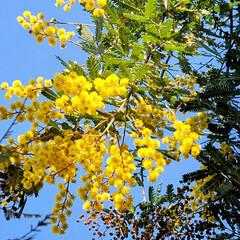 風景/ガーデン/Flower 🌴🌺⛱🌼🐠🌴💓  🌿💛🌿ミモザ🌿💛🌿青空…