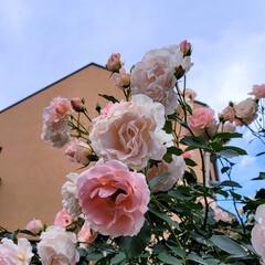 ガーデン/風景/Flower 🌈🌺🐢💃🌴🌻🌴🍍  🌴🦩バラが似合うSu…(1枚目)