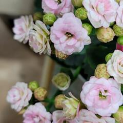 ガーデン/Flower 🌴🌺⛱🌼🐠🌴💓  🌿🌸ベニベンケイ🌸🌿