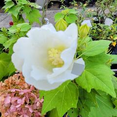 ガーデン/Flower 🌺🍹🐊🍉🌴🌻🌴🍍  🌴🦩爽やかフヨウです…(1枚目)