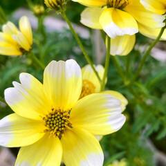 ガーデン/Flower 🌈🌴🦚🌺🍂🍁🌾🍄  🌼コスモス🌼(1枚目)