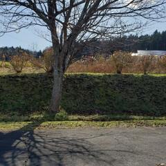落葉/樹木/木/標茶/道東/北海道/... お仕事で行った先の木の写真。桜の木でござ…