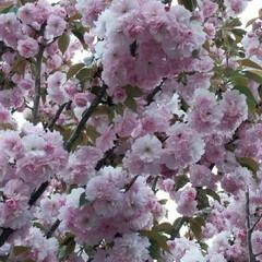 見納め/公園/桜 裏の公園の毎年一番最後に咲く桜が満開です…