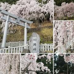 大好き天ぷらんど/滝/チューリップ/枝垂れ桜/春/おでかけ/... 昨日はお天気に誘われて山へドライブ🎶🚗💨…(7枚目)