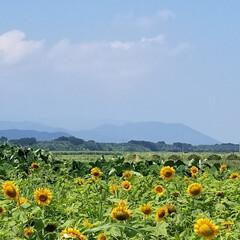 ゴーゴーカレー/ひまわり畑/お出かけドライブ/暮らし/100均/セリア 今年はひまわり畑の満開を外してしまいまし…