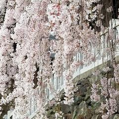 大好き天ぷらんど/滝/チューリップ/枝垂れ桜/春/おでかけ/... 昨日はお天気に誘われて山へドライブ🎶🚗💨…(9枚目)