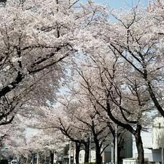 お散歩/桜のトンネル