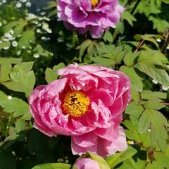 牡丹/グリーン/おでかけ 千葉の叔母の庭の牡丹🎵白なども咲いてまし…