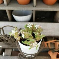 セダム/多肉植物/グリーン 可愛い花が咲きました😄🎶